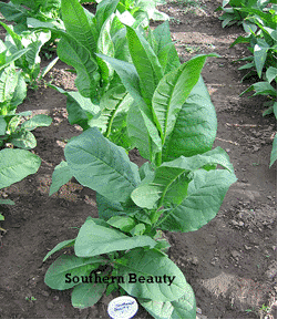 Southern Beauty Tobacco