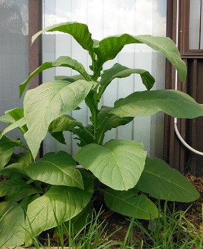 Silk Leaf Tobacco