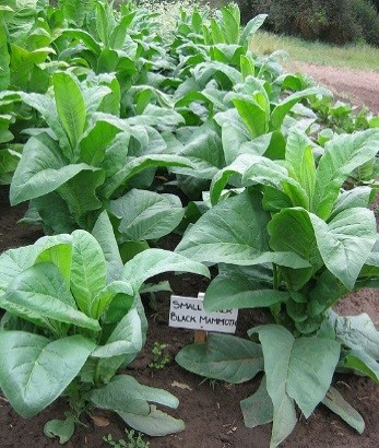 Black Mammoth Small Stock Tobacco