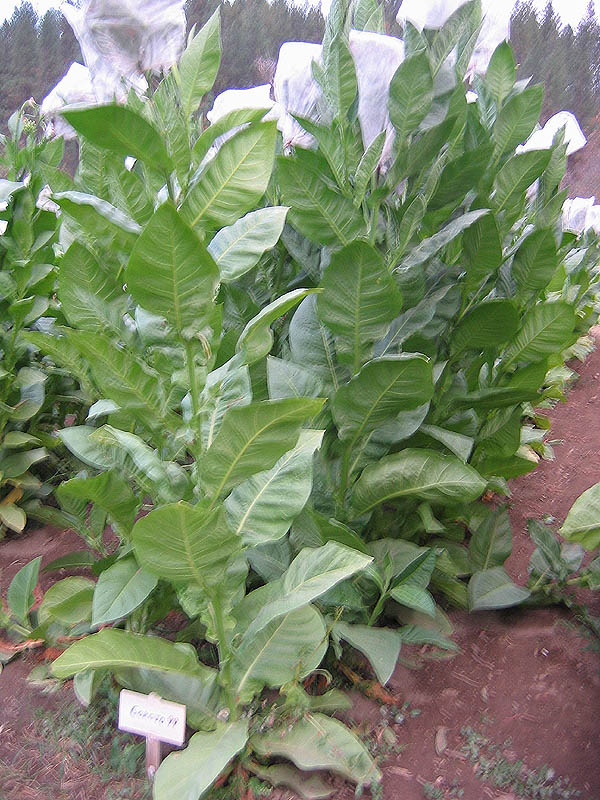 Corojo tobacco plants