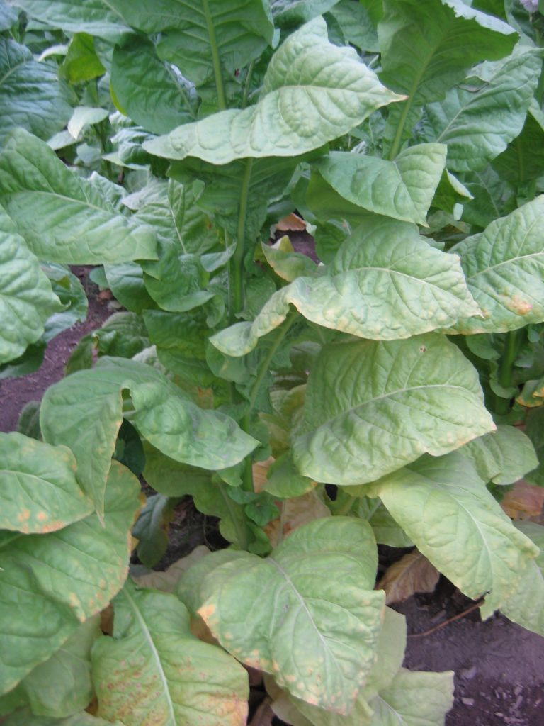 NC 95 tobacco plants